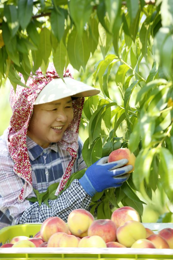 A farmer harvests this year's first yellow peach at a farm in Imsil County in North Jeolla on Monday. [YONHAP]