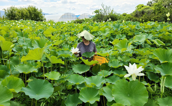 A farmer in Namwon, North Jeolla, harvests lotuses. The lotus are used as raw ingredients in cosmetics products. According to the Institute of Natural Cosmetic Industry for Namwon, lotuses contain compounds that slow ageing, whiten the skin and lock in moisture. [YONHAP]