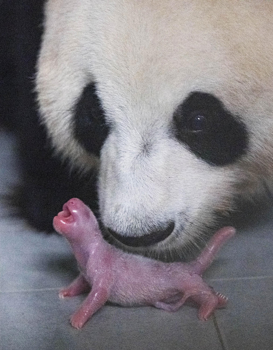 The first baby panda born in Korea. [EVERLAND]