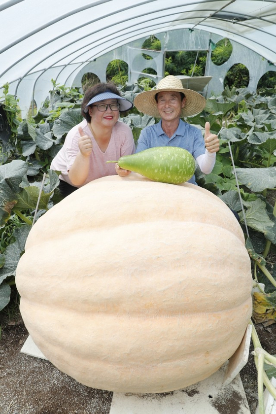 Farmers Yang Jae-myeong, right, and Baek Cheol-suk pose with their 380-kilogram (838-pound) pumpkin at their vinyl greenhouse in Uiryeong County, South Gyeongsang, on Tuesday morning. Yang and Baek grew seven super-sized pumpkins weighing between 200 to 380 kilograms last April. In an annual competition hosted by Rural Development Administration, Yang won the championship three times for growing the biggest pumpkins in the country. [YONHAP]