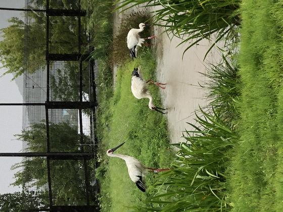 Oriental storks at Yesan Oriental Stork Park. [LEE SUN-MIN]