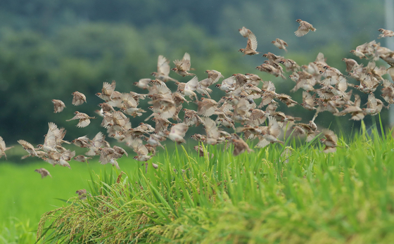 A flock of sparrows finds a meal in a rice field in Hamyang County, South Gyeongsang, on Thursday after a break in the rain. [YONHAP]