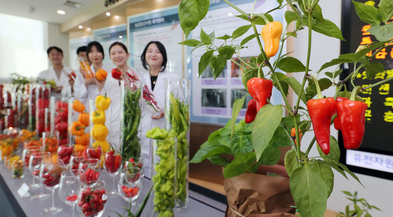 Researchers present the genomic resources of 448 chili peppers from 41 countries on Wednesday, including the world's spiciest chili pepper, Carolina Reaper, from the United States. An appraisal of genomic resources inside the chili was held at the RDA-Genebank Information Center of the National Agrobiodiversity Center in JeonBuk Innovation City, North Jeolla.  [YONHAP]