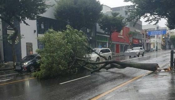 A tree was uprooted in Yeon-dong of Jeju City on Wednesday. [NEWS1]