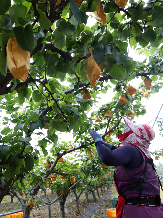 An employee from the government's agricultural research and extension services office picks pears ahead of typhoon Bavi at an orchard in Chuncheon, Gangwon, on Wednesday. [YONHAP]
