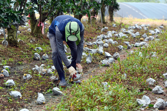 A farmer cleaning after his pear farm in the wake of Typhoon Bavi on Thursday morning in Shinan County, South Jeolla. [NEWS1]