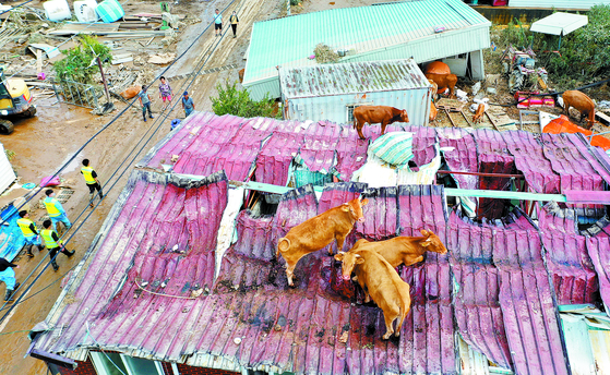 A herd of cattle is seen on the roof of a house in rural Gokseong, South Jeolla, in early August after a tributary of the Seomjin River flooded after a typhoon hit the region. [YONHAP]
