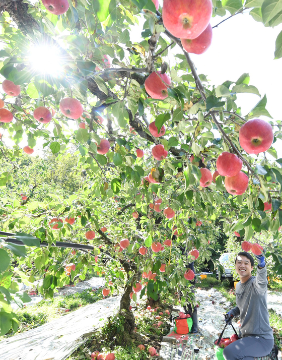 The head of Geochang Apple, a farm in Geochang County in South Gyeongsang, on Monday harvests ripe hongro apples, which are in season before the Chuseok holiday. [YONHAP]