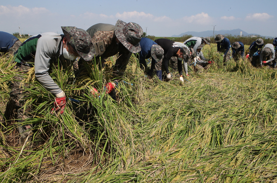 Soldiers work to set up rice stalks flattened by recent typhoons in a rice field in Busan on Monday. [SONG BONG-GEUN]
