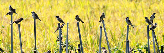 A flock of sparrow sit on a row of sticks next to a rice paddy, where rice grains have ripened in Namhae County, South Gyeongsang, on Tuesday. [NEWS1]