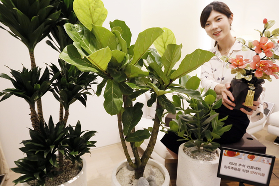 A model shows off plants including Clusia and oak trees at Galleria Department Store in Gangnam District, southern Seoul, on Thursday. The plants are available as Chuseok gifts this year. [YONHAP]