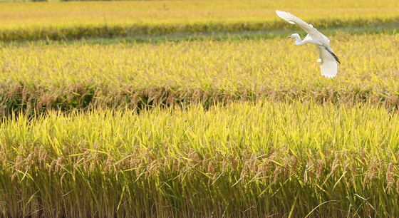 A white heron flies over a rice paddy in Chuncheon, Gangwon, on Monday. Rice prices have increased as supplies are expected to drop due to a series of typhoons that hit the country last month. The average wholesale price for 20 kilograms (44 pounds) of rice hit this year's record in September, reaching 50,687 won ($43.55). [YONHAP]