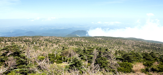 Korean firs growing at an altitude of 1,800 meters (5,906 feet) on the Seongpanak Trail on Mount Halla on Jeju Island are dying en masse as seen in August this year. [JO HYUN-WOO]