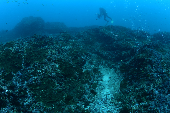 Native brown algae are disappearing in Jeju waters, replaced by hard corals. [LEE SEON-MYEONG]
