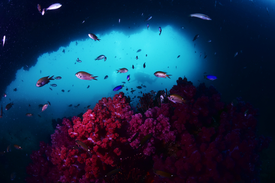 Coral colonies are increasingly found in the waters off the coast of Jeju Island near Munseom, a popular diving spot. Jeju waters have seen a rise in temperatures, with native fish and algae being replaced by subtropical species. [LEE SEON-MYEONG]