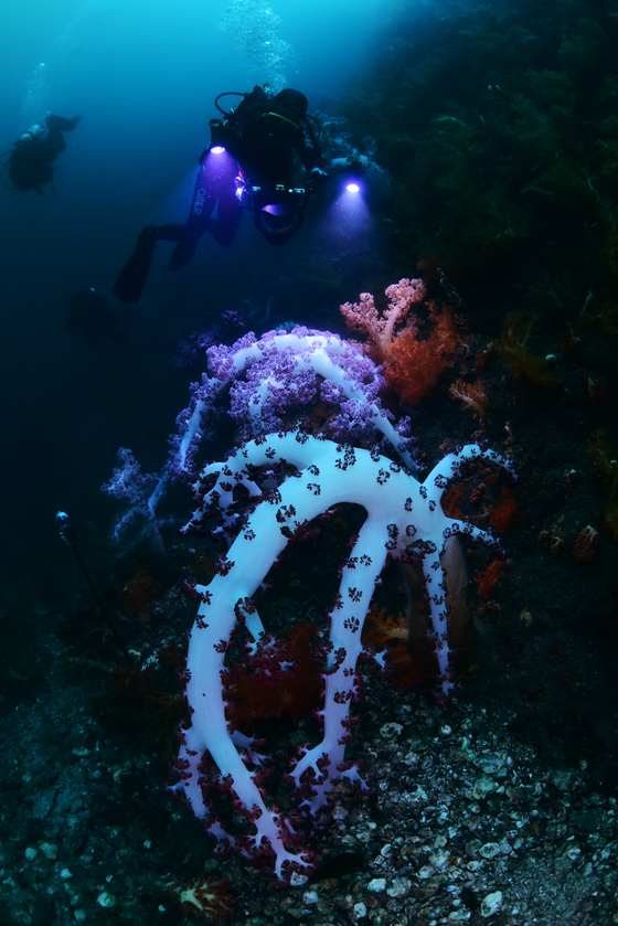 Sea anemone higher than human height tower in the Jeju waters. [LEE SEON-MYEONG]