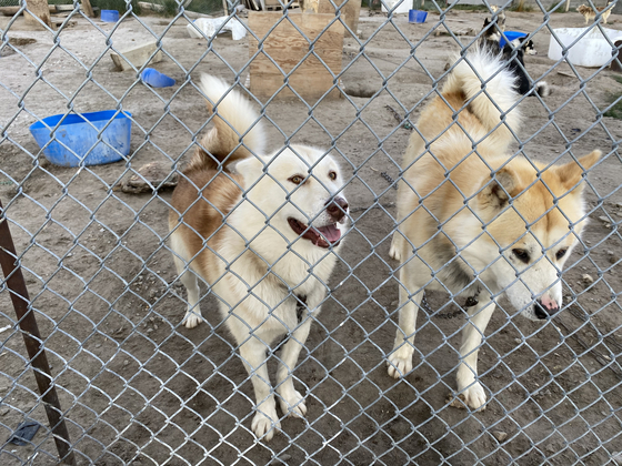 Dogs in Kangerlussuaq in Qeqqata spend more and more time tied up as dog sledding season gets shorter due to warmer weather and melting ice. [KIM IN-SOOK]