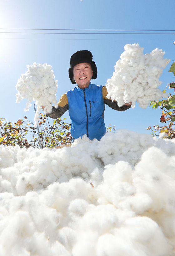 A representative of a cotton company on Monday cultivates cotton from a field in Gaepyoung Hanok Village in South Gyeongsang. [YONHAP]