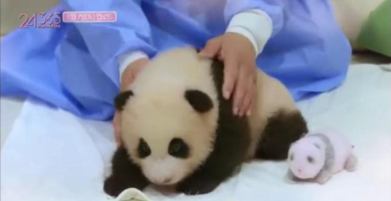 One member of Blackpink touches a baby panda with her bare hands. [WEIBO]