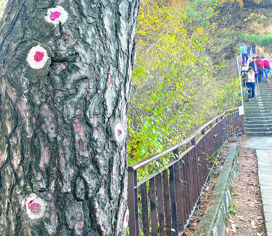 A pine tree with bullet marks from the gun battle between fleeing North Korean commandos and South Korean soldiers can be witnessed along the new trail. [CULTURAL HERITAGE ADMINISTRATION]
