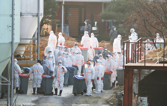 Quarantine officials cull about 193,000 birds from a poultry farm in Yeoju, Gyeonggi, on Monday after the farm owner reported that a highly pathogenic avian influenza was suspected to be the cause of deaths of 1,000 chickens on Sunday. Results of testing to determine whether it was a highly pathogenic avian influenza are expected to come out Tuesday afternoon or Wednesday morning. [YONHAP]