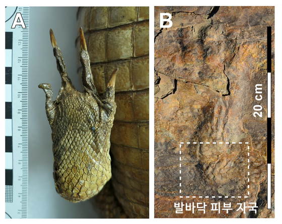 Skin impressions left on the footprint of the bipedal crocodile, right, being compared with a modern-day crocodile's skin pattern, left. [CHINJU NATIONAL UNIVERSITY OF EDUCATION]