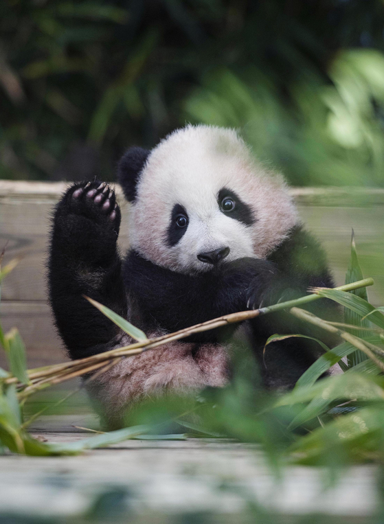 Fu Bao, the first panda cub born in Korea, will make her public debut for visitors at Everland Theme Park in Yongin, Gyeonggi, on Monday. Only a limited number of visitors will be allowed to see Fu Bao, born in July last year, and will need to make a reservation, according to the amusement park run by Samsung C&T. [SAMSUNG C&T]
