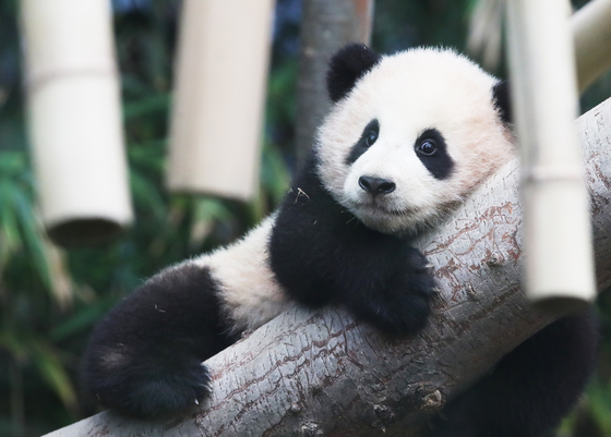 Baby panda Fubao, about five months old, lounges on a tree at Everland, Gyeonggi. She made her public debut on Monday after being born in July last year. [YONHAP]