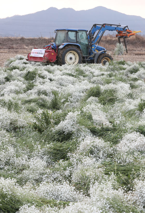 A floriculture farmer on a tractor destroys baby's-breath flowers in a field in Changwon, South Gyeongsang, on Thursday. Prices of the flowers plunged as demand drastically dropped as graduation and entrance ceremonies have been canceled or conducted online. [YONHAP]