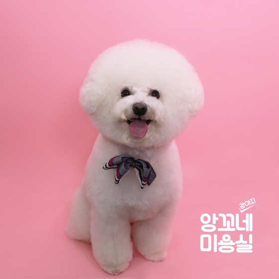 Bbomi, a four-year-old Bichon Frise owned by 25-year-old university student Kwak Seo-yeong. [KWAK SEO-YEONG]