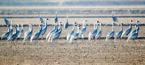 A group of white-naped cranes take rest in Junam Reservoir in Changwon, South Gyeongsang, on Sunday. [YONHAP]