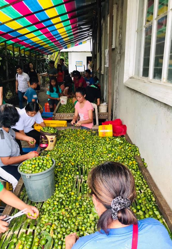 Funded by Koica, GGGI works with calamansi farmers in Oriental Mindoro, Philippines to increase climate resilience. [GGGI]