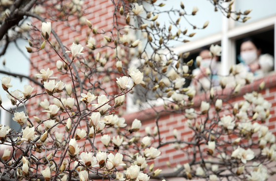 White magnolia flowers, as a spring harbinger, bloom in the campus of Yeungjin College in Daegu on Thursday. [YONHAP]