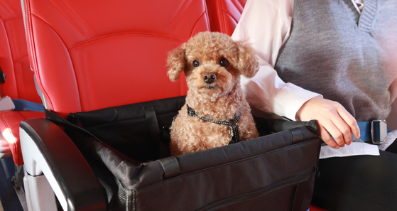 Pets Go, a local agency that provides services to enable travels with pets to take trips, is offering pet lovers a chance to fly with their furry friends sitting right next to them. [YONHAP]