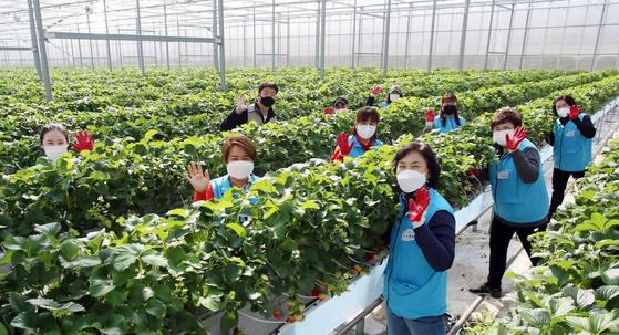The partners of Hyundai Steel employees help pick strawberries at a smart farm in Dangjin, South Chungcheong on Wednesday as part of the company's volunteer works. [YONHAP]