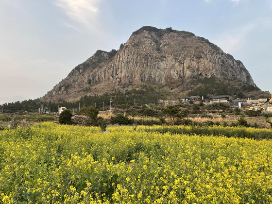 A field filled with yuchae, or rape flower, in front of Jeju Island's Mount Sanbang. [LEE SUN-MIN]