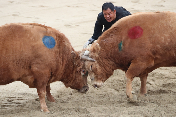 Two bulls lock horns in an arena in Cheongdo, North Gyeongsang, on Sunday. Cheongdo's bullfighting matches resumed on Saturday after a year-long hiatus caused by the Covid-19 pandemic. Bullfighting matches will take place on Saturdays and Sundays until Dec. 26. [NEWS1]