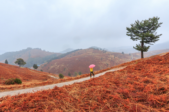 Hills covered in gosari, or brachekn, in Namhae County, South Gyeongsang, is now red before new buds bloom. [LIETTO]