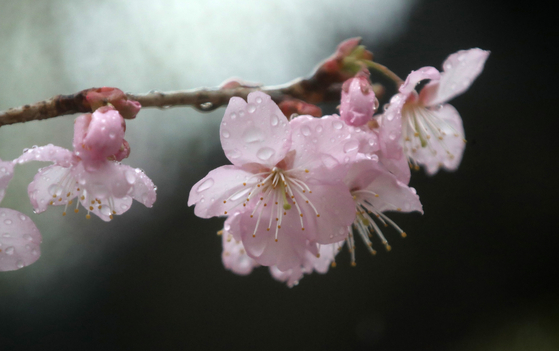 A variety of trees bloom during spring including cherry blossom. [SONG BONG-GEUN]