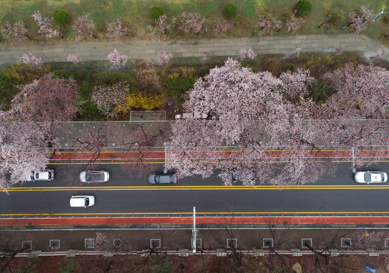 An aerial view of Yunjung-ro in Yeouido, western Seoul, a well-known spot t see cherry blossoms in bloom. The area will be open from April 1 through 8 for a limited number of visitors. [YONHAP]