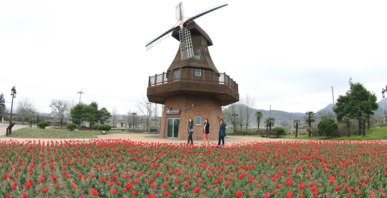 Tulips abloom near a museum set up in remembrance of Hendrik Hamel in Gangjin County. The location is close to where Hamel is thought to have lived in South Jeolla. [GANGJIN COUNTY OFFICE]