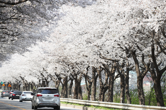 Cars drive along a cherry blossom-canopied road in Yeoju, Gyeonggi, on Tuesday. Yeoju city government announced Tuesday it will hold a drive-through cherry blossom festival from Friday through Sunday, instead of a walk-in festival. [YONHAP]