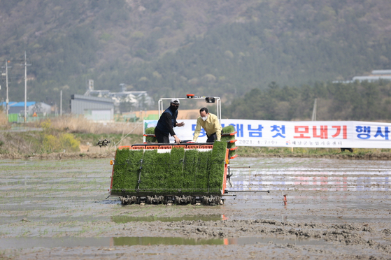 Farmers plant rice, also known as monaegi, at a rice field in Haenam, South Jeolla on Wednesday. The rice is a specific variety of early cultivated rice known as Jinok, which will be harvested in July after a short growth period of 110 days, a month earlier than last year. [YONHAP]