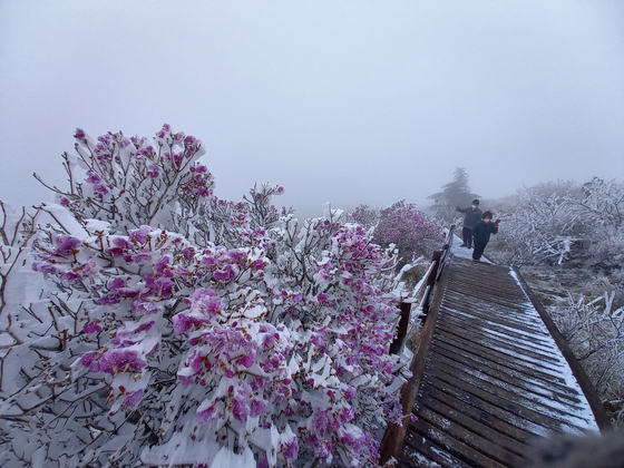 Azalea flowers are covered in snow on a peak in Mount Jiri in Gurye County, South Jeolla, on Sunday. It is the third time snow has fallen in May in South Korea since 1971, when the weather agency began to track snowfall. There was heavy snowfall in some mountainous areas in Gangwon Province on Saturday and Sunday. [NEWS1]