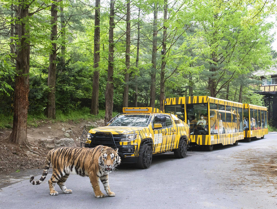 A tiger walks in front of Everland's Safari World Wild Tram, which offers a 20 minute safari passing lions, tigers, bears and hyenas. The ride, which was built to mark the park's 45th anniversary, will open on May 14.  [YONHAP]