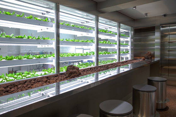 Basil and romain lettuce grown at Sikmulsung, a cafe near Shinsa-dong, southern Seoul. [N.THING]