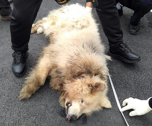 Police inspect the dog which bit and killed a woman in Namyangju, Gyeonggi, on Sunday. [YONHAP]