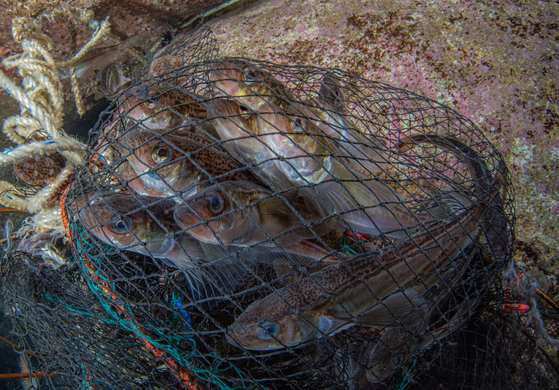 A school of sandfish trapped in a net in the sea off the coast of Goseong County, Gangwon, in December 2020. [KIM HYE-JIN, TEAM BOOSTER]
