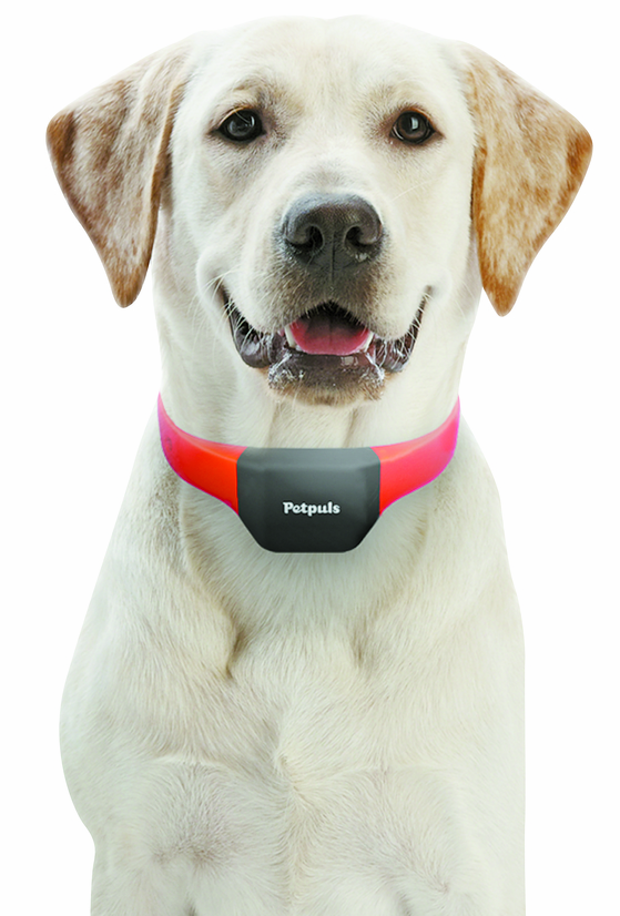 A dog wears Petplus, a dog collar developed by local software company Rwave. [RWAVE]