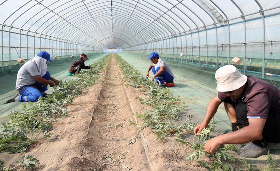 Uzbek migrant workers work at a watermelon farm in Yanggu County, Gangwon, on May 14. They are part of the first group of seasonal migrant workers who entered Korea this year to work across farms.  [YONHAP]